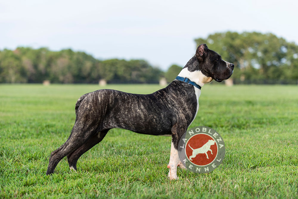 Black Presa Canario - La Nobleza Kennel In Georgia