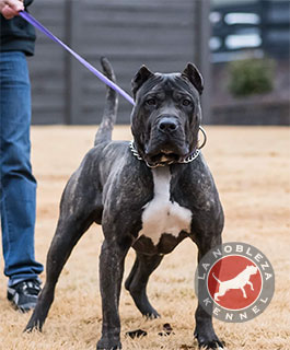 Black Presa Canario for sale - La Nobleza Kennel