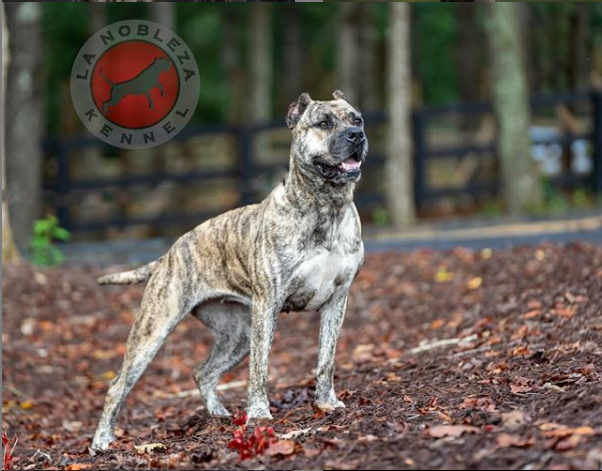 Beautiful Presa Canario Dog