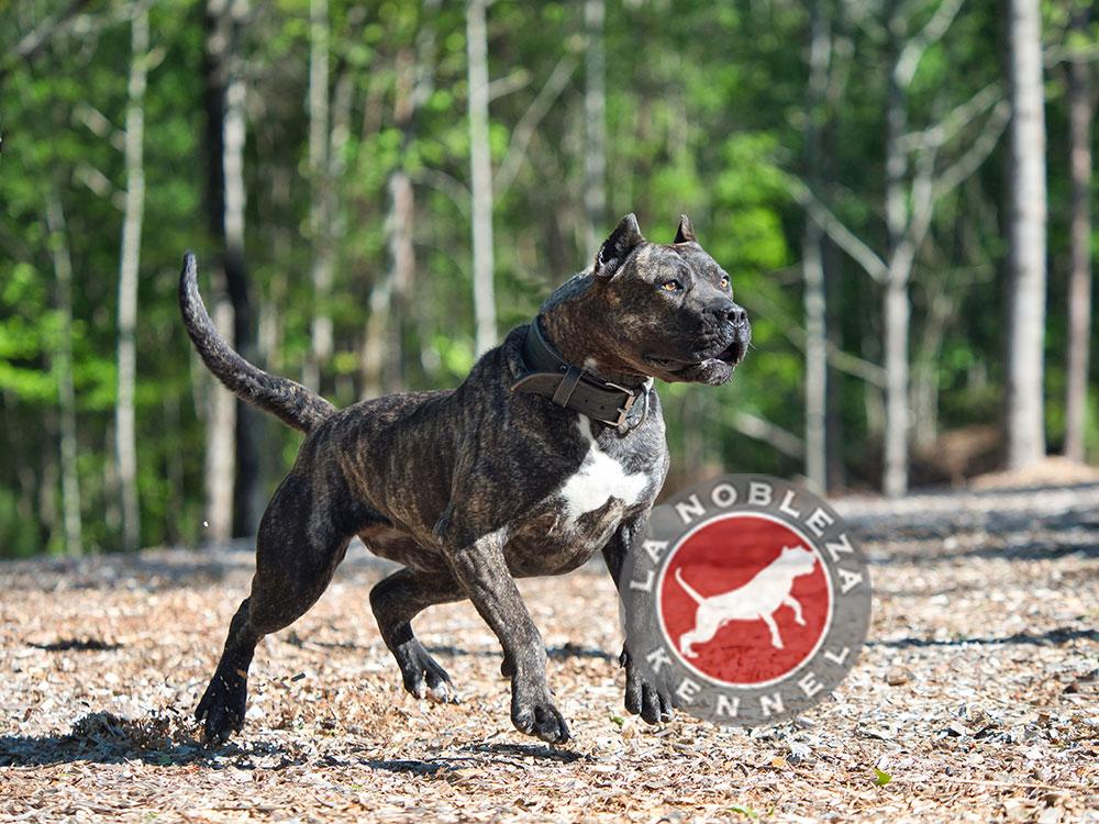 Presa Canario dogs - La Nobleza Kennel