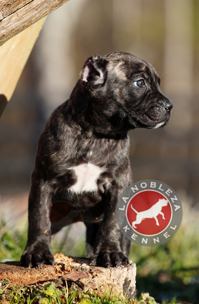 Presa Canario Puppies - La Nobleza Kennel